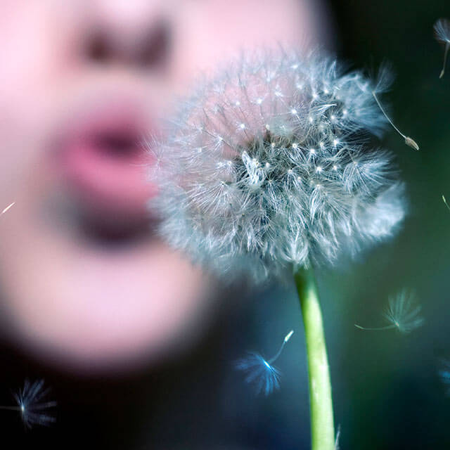 Person blowing on a dandelion flower.