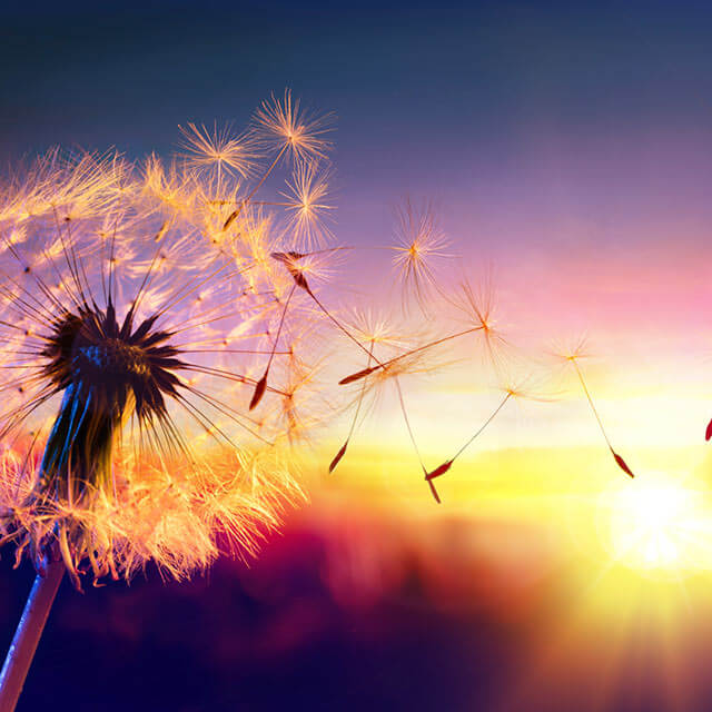 Dandelion blowing in the wind at sunset.