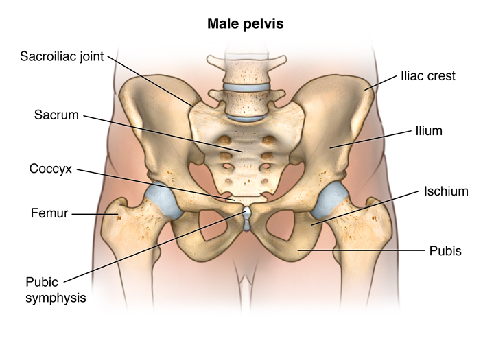Anatomy of the male pelvis