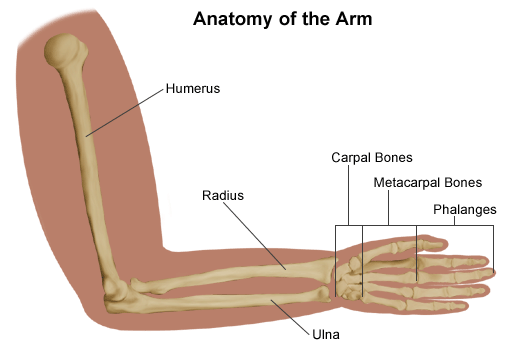 Diagram of the anatomy of the arm.