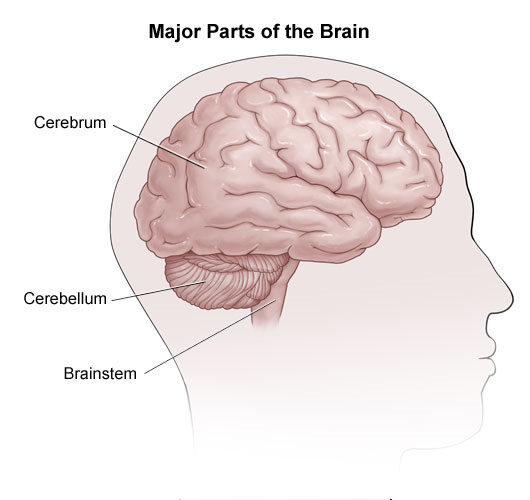 Location of the cerebrum, cerebellum and brainstem.