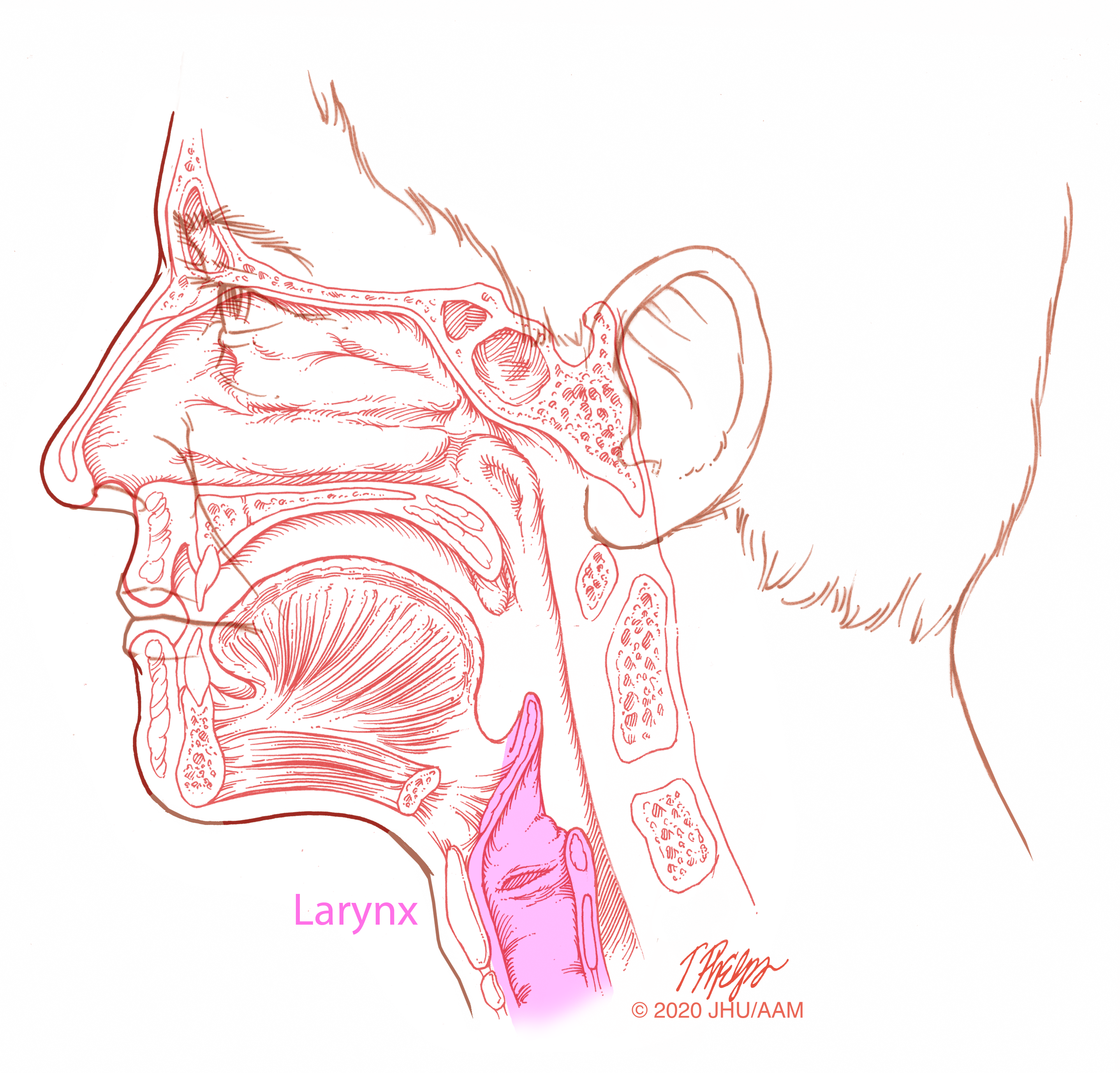 sagittal larynx illustration