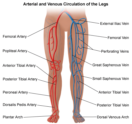 Illustration of the circulation system of the legs.