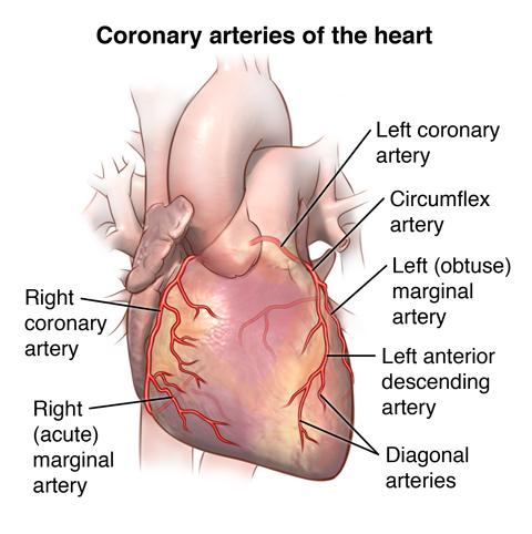 anatomy and function of the coronary arteries johns hopkins medicineexterior of the heart and coronary arteries