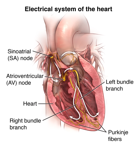 Diagram of the heart's electrical system.