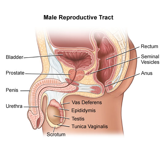 Diagram of the male reproductive tract.