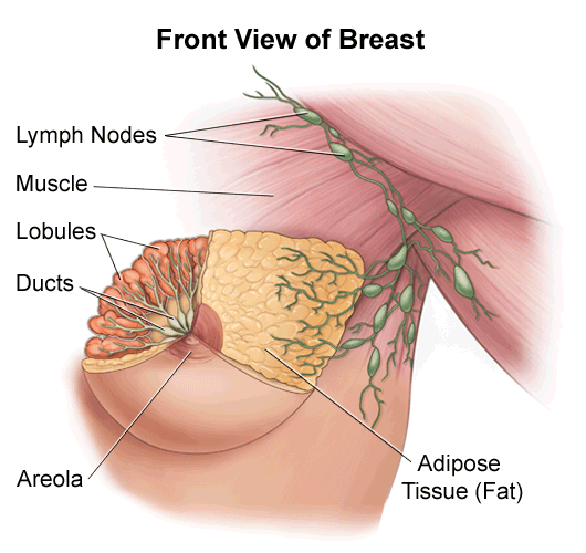 illustration of the anatomy of the female breast, front view