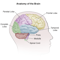 Illustration of the anatomy of the adult brain