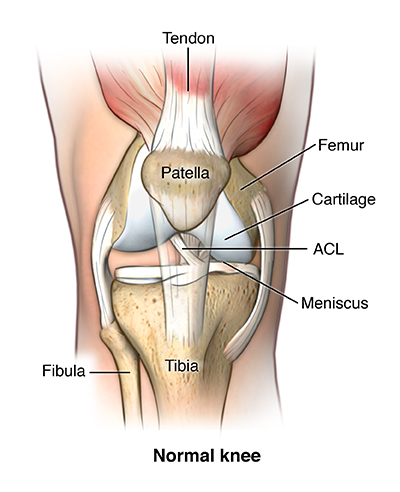 Anatomical illustration of the knee joint