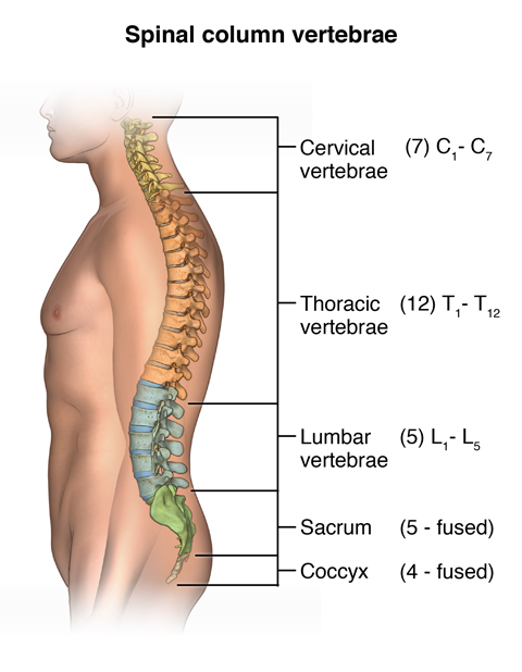 Illustration of the different sections of the spine