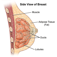 Illustration of the anatomy of the female breast, side view
