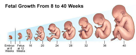An illustration showing fetal growth from 8 to 40 weeks.