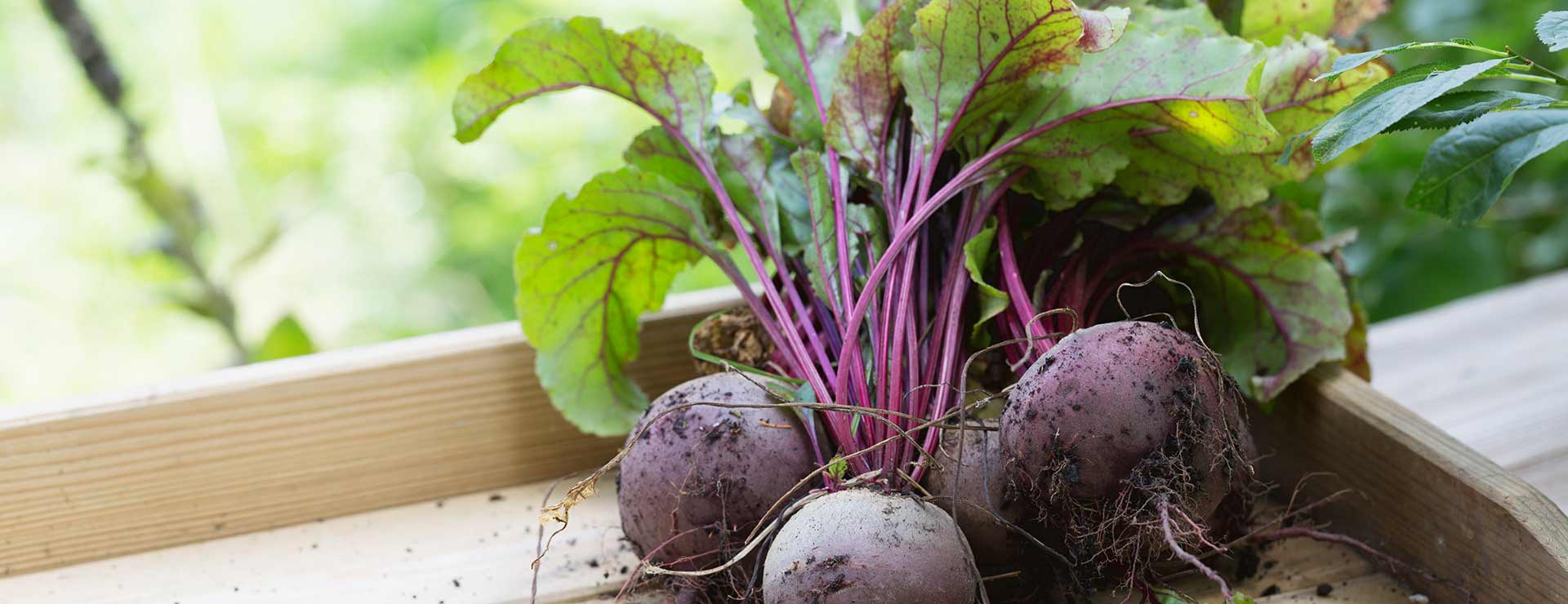 Freshly harvested beets