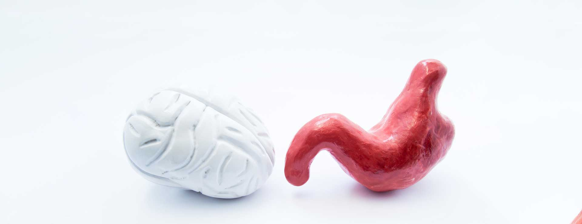 models of brain and stomach next to each other