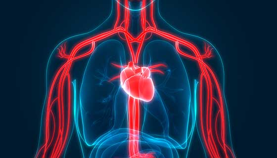 An illustration of the heart and blood vessels