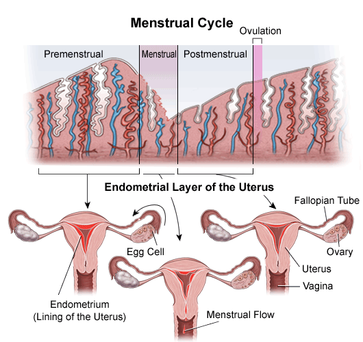 menstrual cycle overview