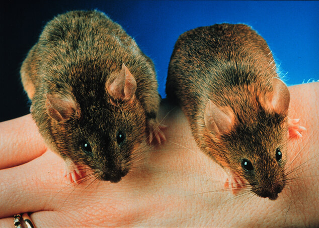 super transgenic mice A genetically engineered super mouse can run over 4 hours with no break, eat more but doesn't get fat, has more sex, live longer, 10 times more active than normal mice, can.