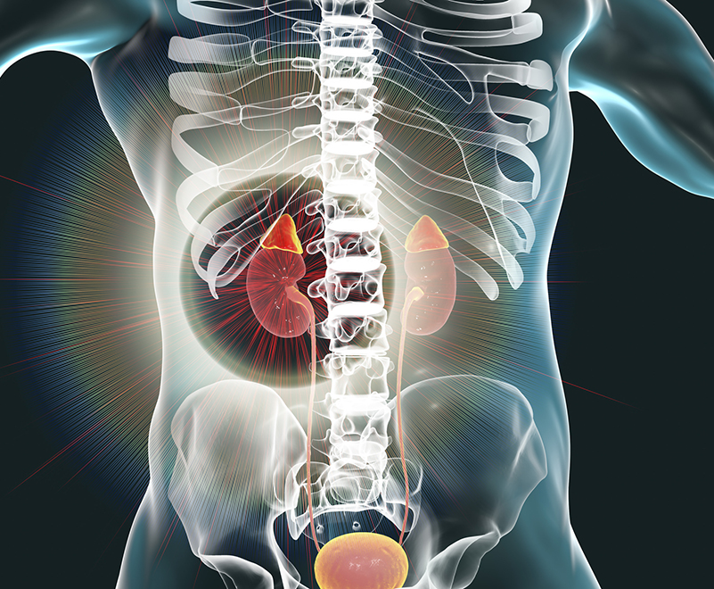 3d graphic of adrenal glands inside body