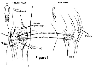 diagram showing where the acl is located