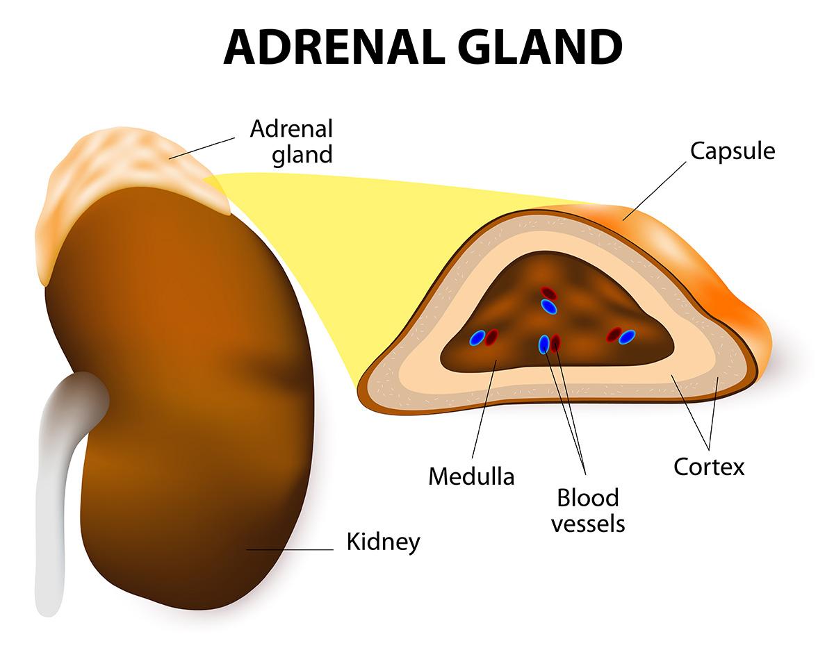 adrenal glands johns hopkins medicineanatomy of adrenal glands