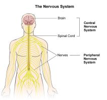 Illustration of the nervous system