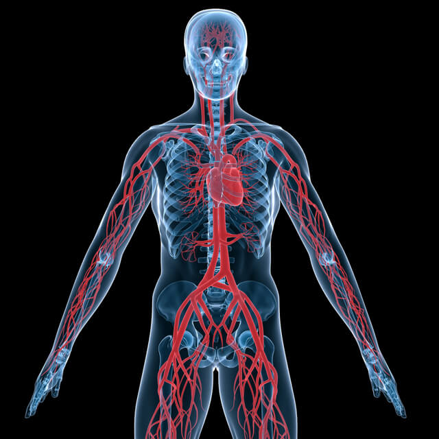 An anatomical illustration showing the human body's circulation system.