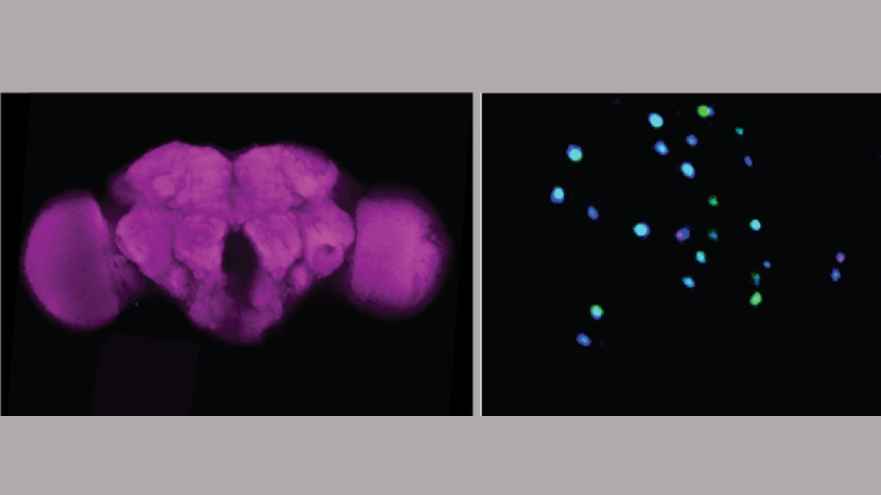fruit fly brain cells