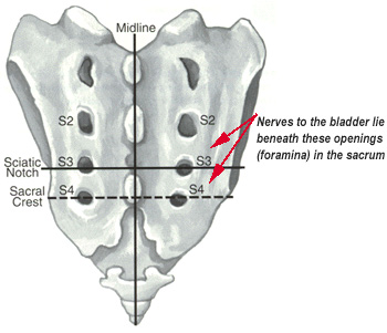 Diagram of the sacrum and coccyx, showing where the bladder nerves are