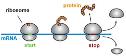 ribosomes must be split apart at the end of translation so they are free to begin elsewhere