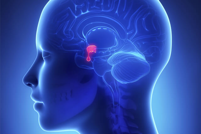 An illustration highlighting the pituitary gland in the brain