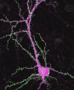 Neuron with synapses