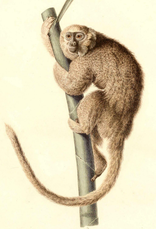Monkey, Callicebus donacophilus