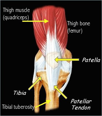 Diagram of the knee, indicating the location of the patella, tibia and patellar tendon