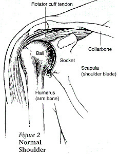 illustration of a shoulder joint