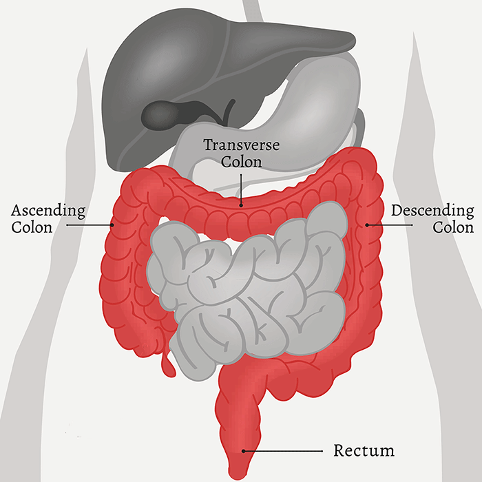 Diagram of the digestive system, showing the location of the colon and rectum.