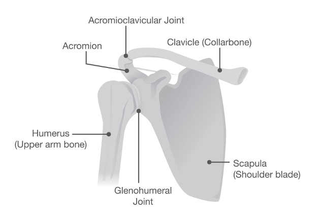 Anatomy of the shoulder joint