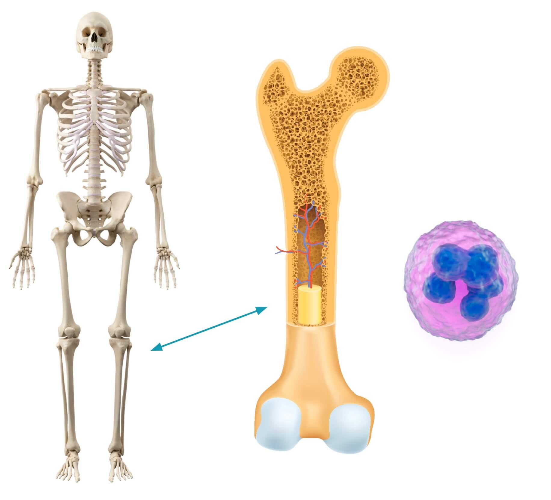 Cancer-fighting immune cells are made by our bone marrow and can be collected and used for therapy.