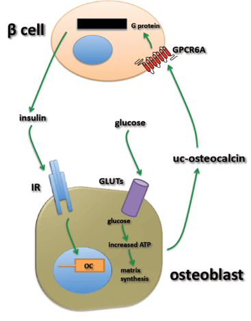illustration of endocrine loop for an osteoblast and beta cell