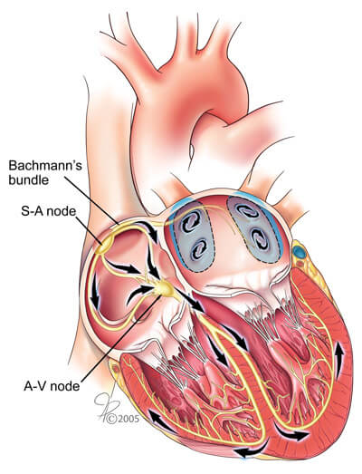Internal Heart Diagram