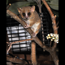 A gray mouse lemur