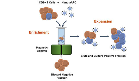 The process for producing large numbers of activated, customized T cells using magnetic nanoparticles and a column