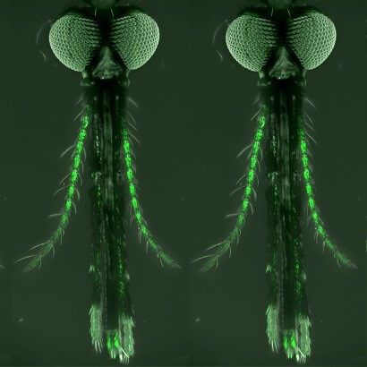A female mosquito with antennae, maxillary palp and labella shown under magnification.