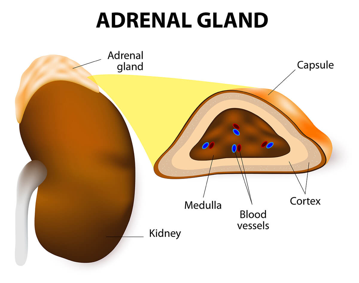 Adrenal Glands Johns Hopkins Medicine Health Library Free Body Diagrams For Objects With Unbalanced Forces Youtube Anatomy Of