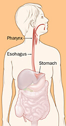 Location of the pharynx, esophagus, and stomach in the body