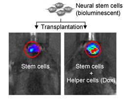 Injected stem cells with helpers