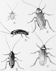 various cockroach species