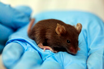 a lab mouse sits in a researcher's gloved hand