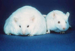 "Researchers compared epigenetic ""tags"" on fat cells of lean and obese mice."