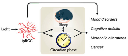 Light, as detected by intrinsically photosensitive retinal ganglion cells (ipRGCs), can affect health either directly, or by altering our circadian rhythms.