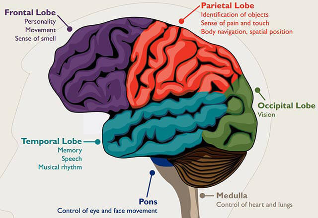 A labeled illustration of the brain